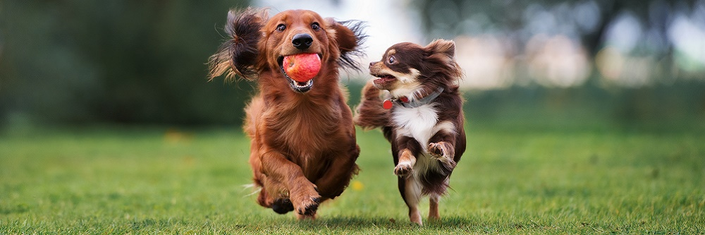 dogs playing on artificial grass